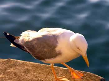 Cocàl, un protagonista nella Laguna di Venezia