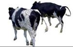Mucche colte