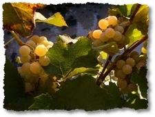 grappolo d'uva prima della vendemmia